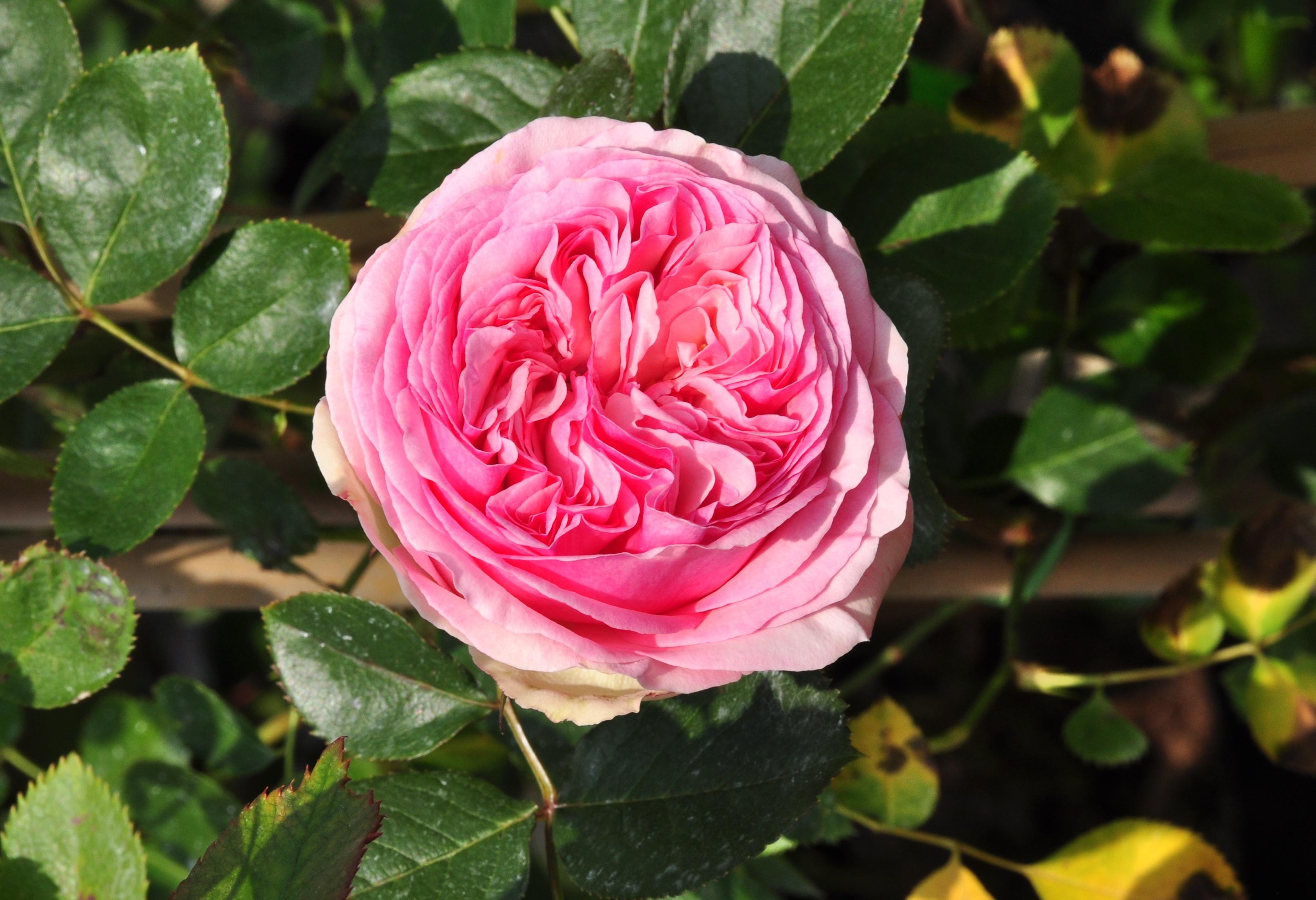 Rosa 39 eden rose 39 syn 39 pierre de ronsard for Pierre de ronsard rosa