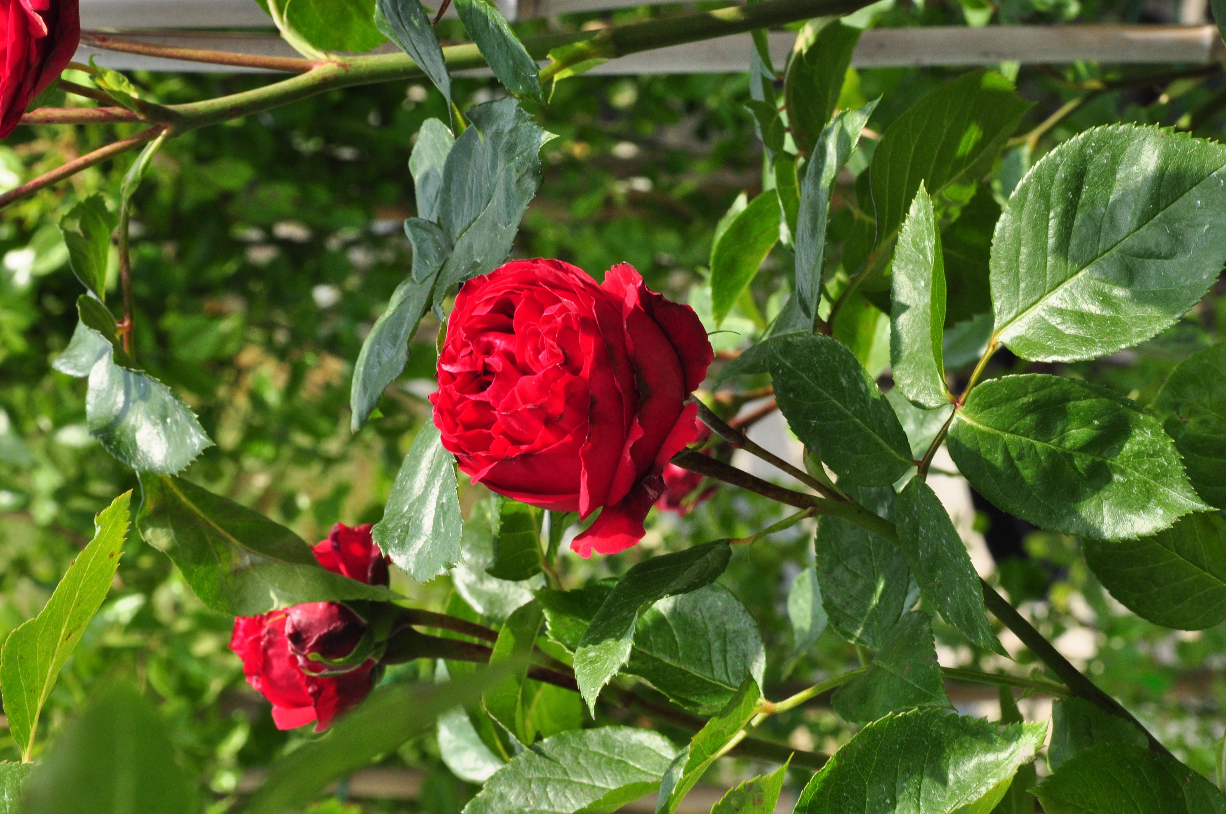 rosa 39 red eden rose 39 romantica roos. Black Bedroom Furniture Sets. Home Design Ideas