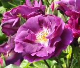 Rosa 'Rhapsody in Blue ' Warner 2000